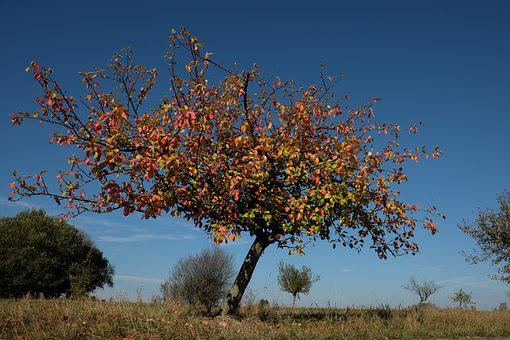 Apple Tree, Tree, Leaves, Colorful, Color, Autumn
