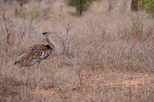 Wild Bird, South Africa, National Park, Chicken