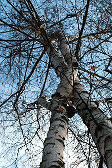 Nature, Twins, Lovers, Birch