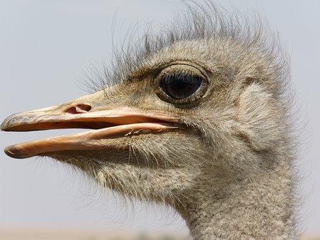 Bouquet, Ostrich, Flightless Bird, Portrait, Face, Bird