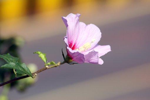 Rose Of Sharon, Flowers, Garden, Plants, Nature