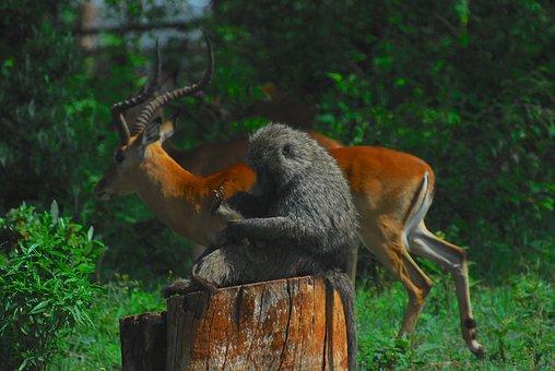 Baboon, Monkey, Nature, Primate, Ape, Evolution, Africa