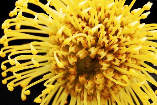 Pincushion, Protea, Africa, Botany, Plant, Yellow