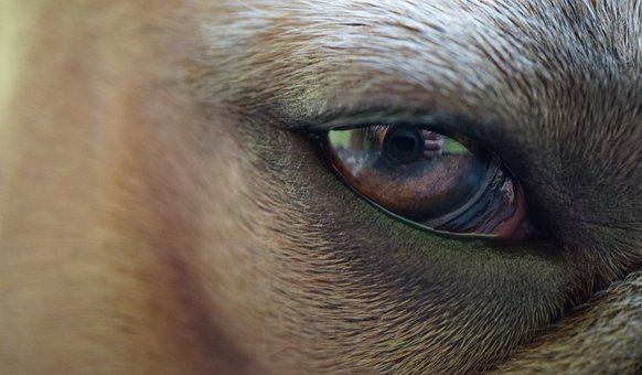 Eye, Iris, Pupil, Lens, Woman's Hand, Dog, Animal, Fur