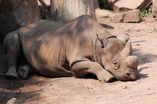 Rhino, Black Rhino, Africa, Zoo, Nature, Wild Animal