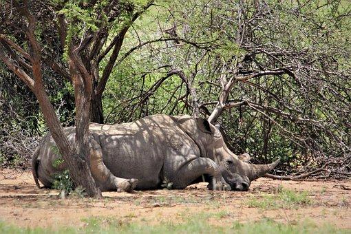 White, Rhino, Under, Tree, Resting, Rhinoceros, Kruger