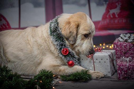 Dog, Christmas, Gifts, Pet, Funny, Santa Hat, Santa