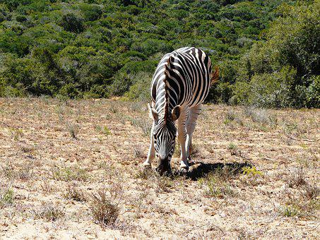 Zebra, Addo, National Park, Stripes, South Africa