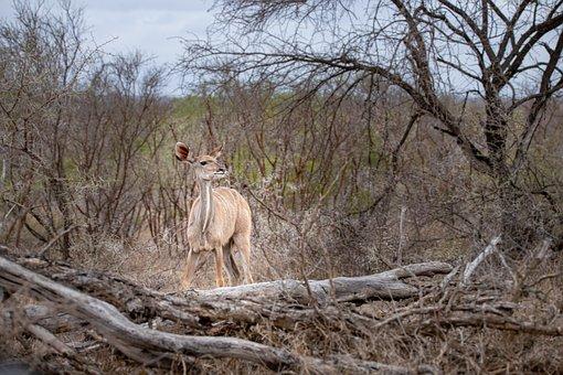 Bushbuck, Antelope, South Africa, Wild Animal
