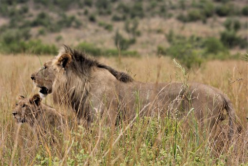 Pride, Lion, King, Stare, Eyes, Royal, South, African