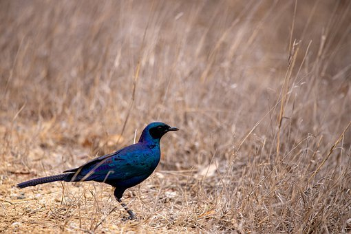 Colorful Bird, Wilderness, Steppe, Colorful, Beautiful