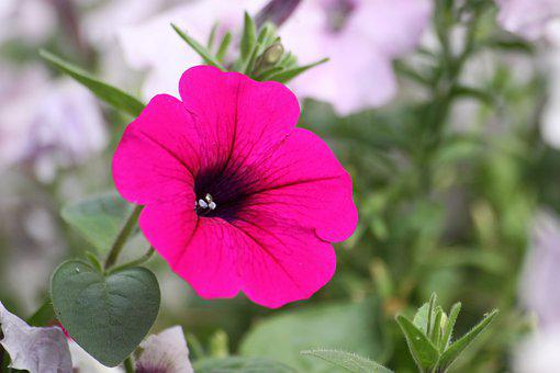 Morning Glory, Flowers, Nature, Flora, Summer, Pink