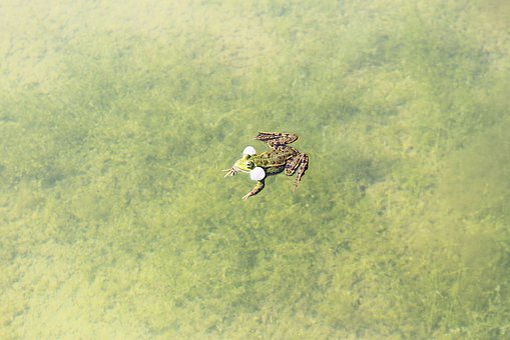 Green, Frog, Swimming, In, Lake, Water, Wildlife