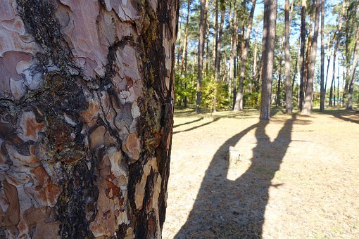 Tree, The Bark, Bor, Forest, Shadow
