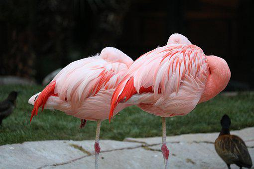 Two Flamingo, Pink, Pink Flamingo, Wildlife, Two