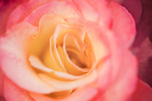 Rose, Flower, Wallpaper, Botany, Nature, Bloom, Blossom