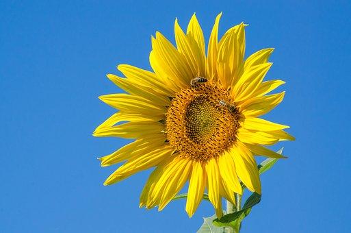 Sunflower, Yellow, Bee, Summer, Bright, Blossom, Bloom