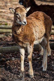 Mammal, Sheep, Animal, Wildlife, Deer, Grass, Looking