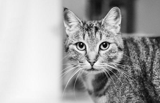 Cat, Cat's Eyes, Pet, Mackerel, Cat Face, Animal World