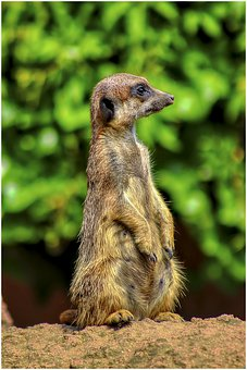 Meerkat, Zoo, Fur, Sweet, Attention, Funny, Cute