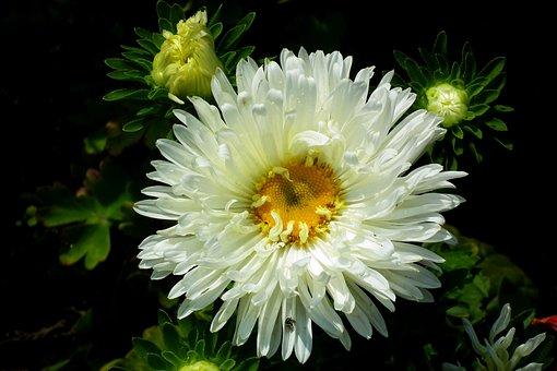 Aster, Flower, White, Macro, Garden, Autumn, Blooming