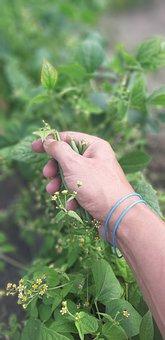 Beans, Green Beans Collection, Garden, Legume