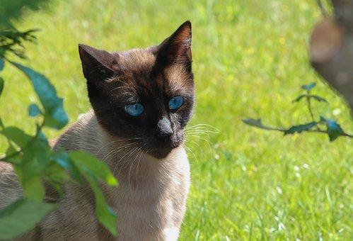Cat, Siamese, Portrait, Nature, Siam, Animals, Mammals