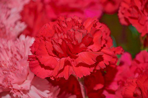Red Carnation, Flower, Plant, Flowers, Purple, Colorful
