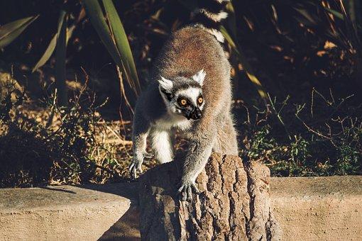 Lemur, Lemurs, Monkey, Cute, Animal, Madagascar, Nature