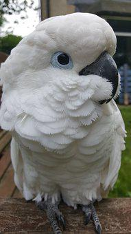 Cockatoo, Parrot, Umbrella, Bird, Pet, Feather