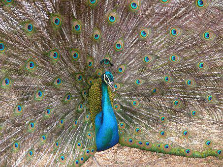 Pea Fowl, Peacock, Animal, Nature, Forest, Bird