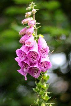 Digitalis, Foxglove, Pink, Toxic, Purple, Spring