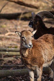 Sheep, Mammal, Wildlife, Animal, Deer, Grass, Goat