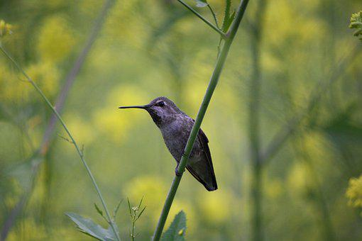 Hummingbird, Nature, Bird, Wildlife, Small, Animal