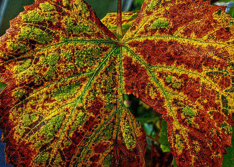 Autumn Leaf, Veins, Leaf Veins, Leaf Buds, Autumn