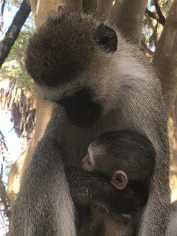 Monkey, Baby, Mother, Animal, Cute, Nature, Wildlife