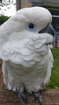 Cockatoo, Parrot, Umbrella, Bird, Pet, Feather
