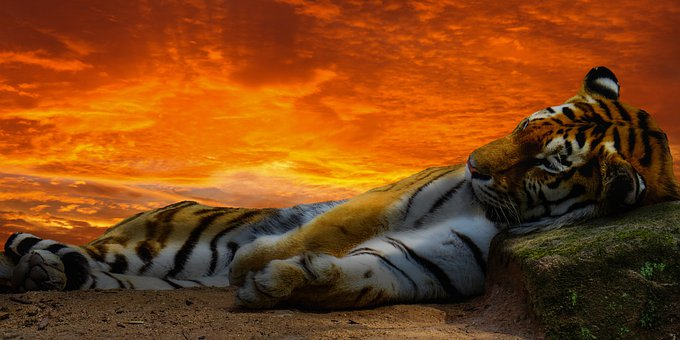 Animal World, Tiger, Predator, Big Cat, Wild, Tired