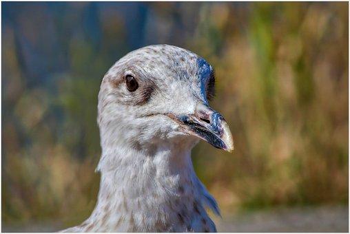 Seagull, Bird, Sea, Water Bird, Feather, Gulls, Flight