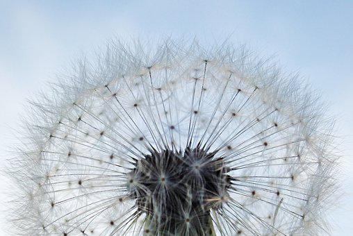 Flower, Seed, Dandelion, Fluff, Silhouette, Transparent