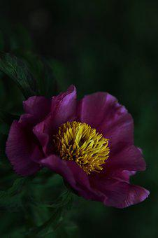 Purple, Peony, Dark, Flower, Macro, Yellow, Seeds