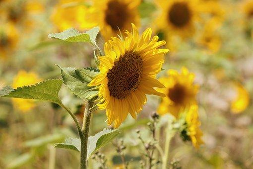 Sunflower, Sunflower Field, Wild, Yellow, Flowers