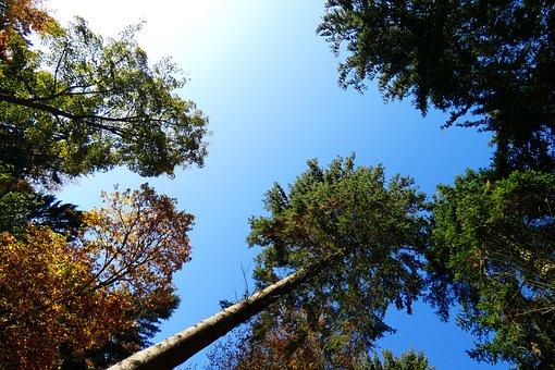 Tall Trees, Skyward, Trees, Nature, Natural World, Sky