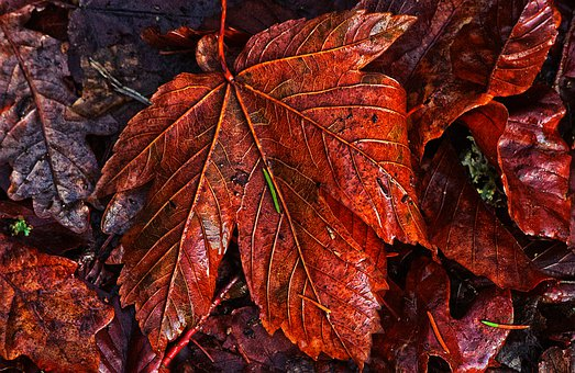 Autumn Leaf, Wet, Veins, Leaf Veins, Morning Sun