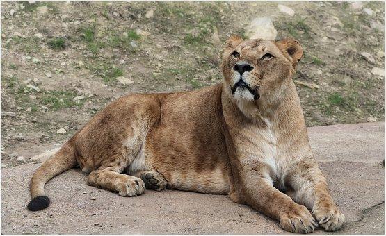 Lion, Cat, Predator, Zoo, Wild, Fur, Lioness, Portrait