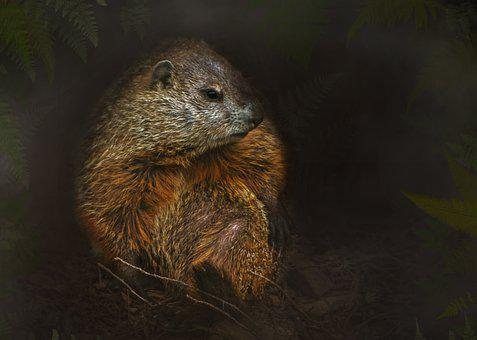 Woodchuck, Groundhog, The Mammal, The Rodent, Wildlife
