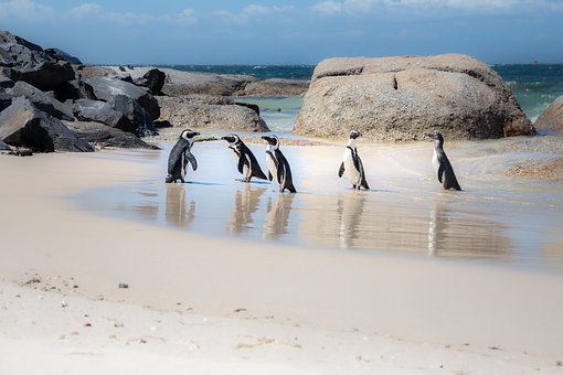African Penguins, Penguins, Jackass, Nature