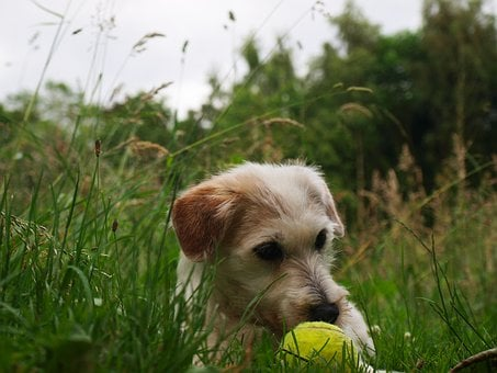 Dog, Puppy, Terrier, Cute, Animal Portrait, Sweet