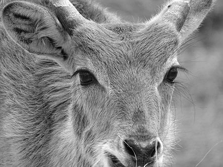 Lechwe, Marsh Antelope, Antelope, Africa, Animal World