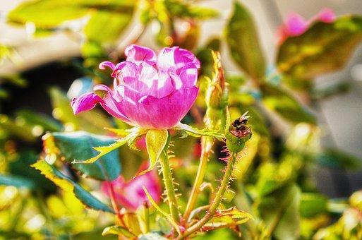 Autumn, Roses, Nature, Rose, Flower, Bloom, Plant